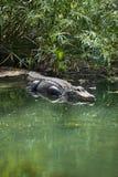 Amerikansk alligator (alligatorn Mississippiensis) Fotografering för Bildbyråer