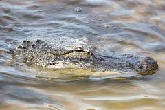 Amerikansk alligator för stående i den tropiska sjön Arkivbild