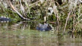 Amerikansk alligator, fristad för djurliv för Okefenokee träsk nationell royaltyfria foton