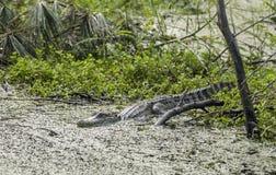 Amerikansk alligator, fristad för djurliv för Pickney ö nationell, USA royaltyfria bilder