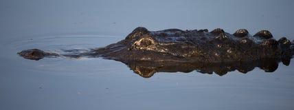 Amerikansk alligator i Florida våtmark Royaltyfri Bild