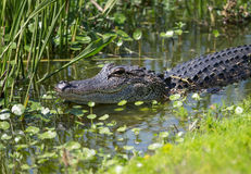 Amerikansk alligator i Florida våtmark Arkivbilder