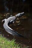 Amerikansk alligator i träskvatten på Hilton Head Island South Carolina arkivbilder