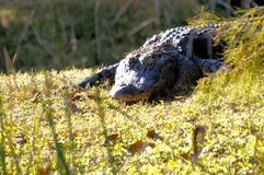 Amerikansk alligator i våtmarker i Florida Arkivfoto