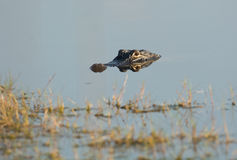 Amerikansk alligator i vattnet Arkivbilder