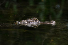 Amerikansk alligator i vattnet Royaltyfri Foto