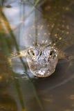 Amerikansk alligator i vattnet Fotografering för Bildbyråer