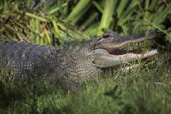 Amerikansk alligator i zoobilaga Royaltyfri Bild