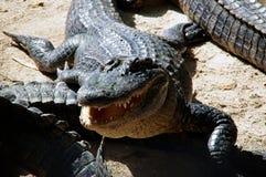 Amerikansk alligator med den öppna munnen Fotografering för Bildbyråer