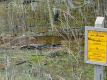 Amerikansk alligator Mississipplensis på Savannah National Wildlife Refuge, Hardeeville, Jasper County, South Carolina USA royaltyfria foton