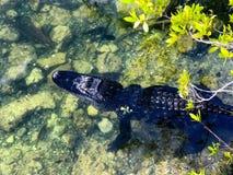 Amerikansk alligator på blåtthålet i de Florida tangenterna Arkivfoto