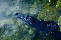 Amerikansk alligator som vilar i vattnet av blåtthålet Arkivfoto
