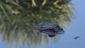 Amerikansk alligator upp nära och personligt i vattnet lager videofilmer
