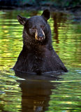 amerikansk americanus björnblackursus Royaltyfria Bilder