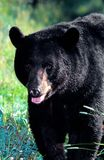 amerikansk americanus björnblackursus Arkivfoto