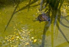 amerikansk ask målad sköldpadda Arkivfoton