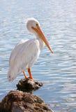 amerikansk backlit pelikanwhite Royaltyfri Bild
