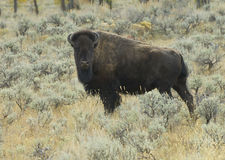 amerikansk bison Arkivbild