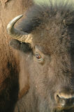 amerikansk bison Royaltyfri Bild