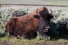 Amerikansk Bison arkivfoton