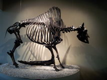 amerikansk bison Royaltyfria Bilder