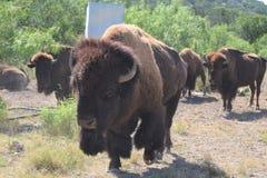 amerikansk bison Royaltyfri Foto