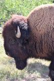 amerikansk bison Fotografering för Bildbyråer