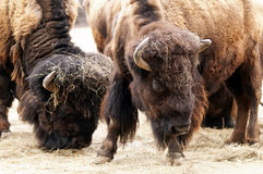 Amerikansk bison/amerikansk buffel Arkivbild