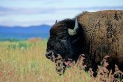 Amerikansk Bison, Bisonbison Arkivfoto