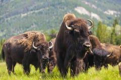 Amerikansk bison eller buffel Arkivbild