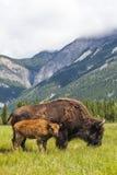 Amerikansk bison eller buffelmoder & kalv arkivbilder