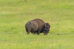Amerikansk bison i gräsen i vår royaltyfri foto