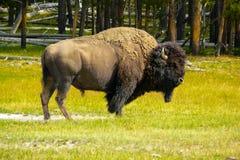 Amerikansk bison i natur Royaltyfria Foton