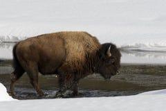 Amerikansk bison i vinter arkivbilder
