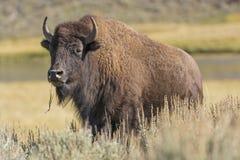 Amerikansk bison på slättarna Arkivbilder