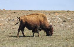 Amerikansk bison som betar på stenig terräng med vinden som blåser hans hår royaltyfri foto