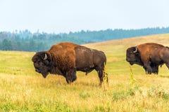 amerikansk bison två arkivbild