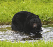 amerikansk björnblack arkivfoton