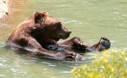 Amerikansk brunbjörn i vatten på Memphis Zoo arkivfoto
