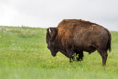 Amerikansk bufalo fotografering för bildbyråer