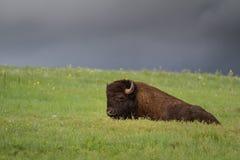 Amerikansk bufalo royaltyfri fotografi