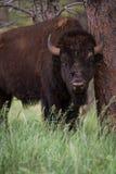 Amerikansk bufalo arkivfoto