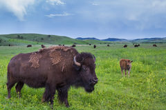 amerikansk buffel royaltyfria foton