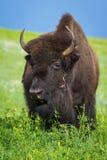 amerikansk buffel royaltyfri bild