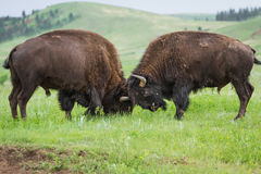 amerikansk buffel royaltyfria bilder