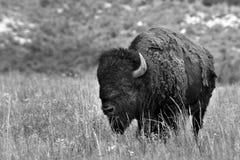 amerikansk buffel Arkivbild