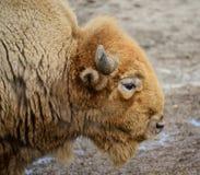 amerikansk buffel Arkivfoto