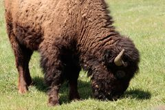 Amerikansk buffel, bison som betar i ett fält fotografering för bildbyråer