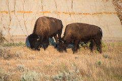 Amerikansk buffel, bison, tjur, natur Fotografering för Bildbyråer