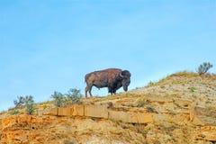 Amerikansk buffel, bison, tjur, natur Royaltyfria Bilder